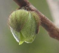 pawpaw blossom 9