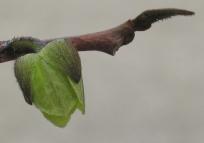pawpaw blossom tip 16