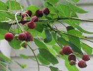 serviceberry juneberry (10)