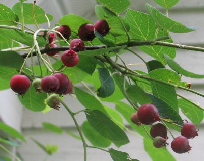 serviceberry juneberry (11)