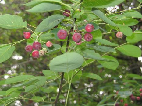 serviceberry juneberry (7)