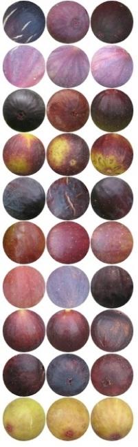 dark fig skin spectrum