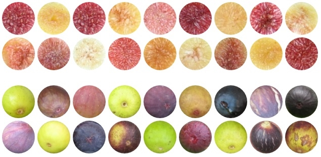 fig fruit sking and pulp circles