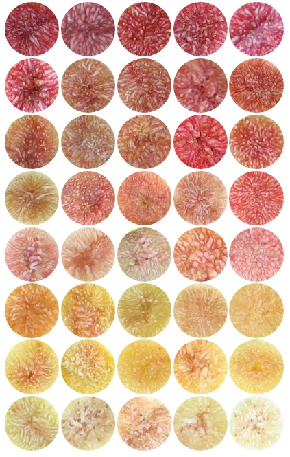 Fig Varieties by Flavor, Skin, and Pulp Color – Mountain Figs