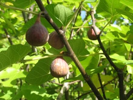LSU Tiger figs (1024x768)