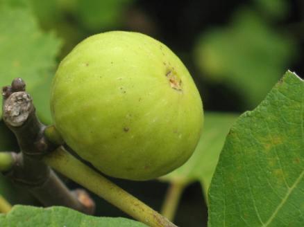 Garnsey White Seedless (25)