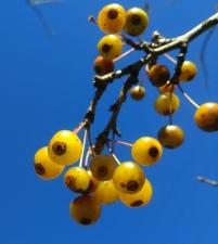 Amber Autumnberry 2