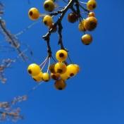 Amber Autumnberry 5