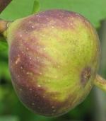 violet sepor (248)
