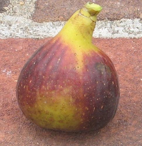 violet sepor (37)