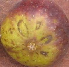violet sepor skin (11)