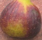 violet sepor skin (5)