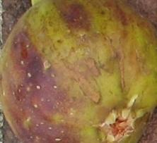 violet sepor skin (9)
