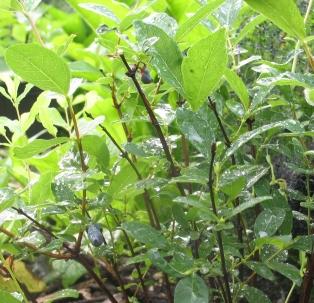 haskap bush rain (2)